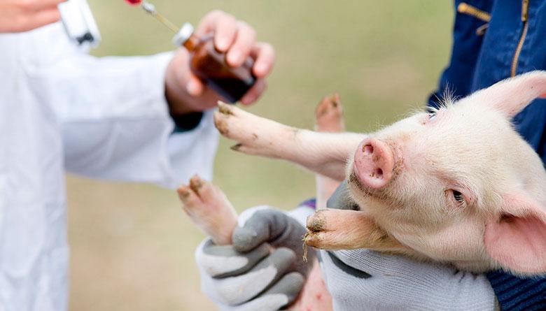 Erisipela porcina