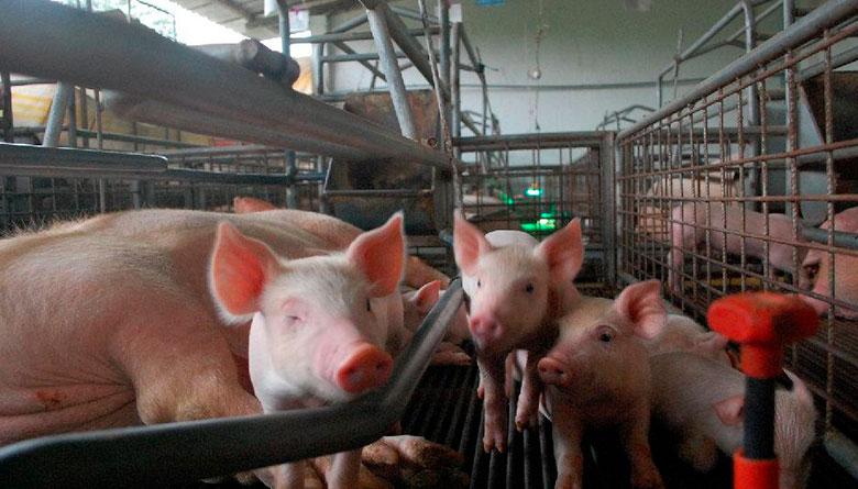 Diarrea epidémica porcina (PED)