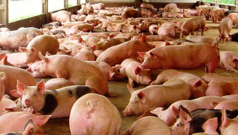 Costos de producción en porcicultura