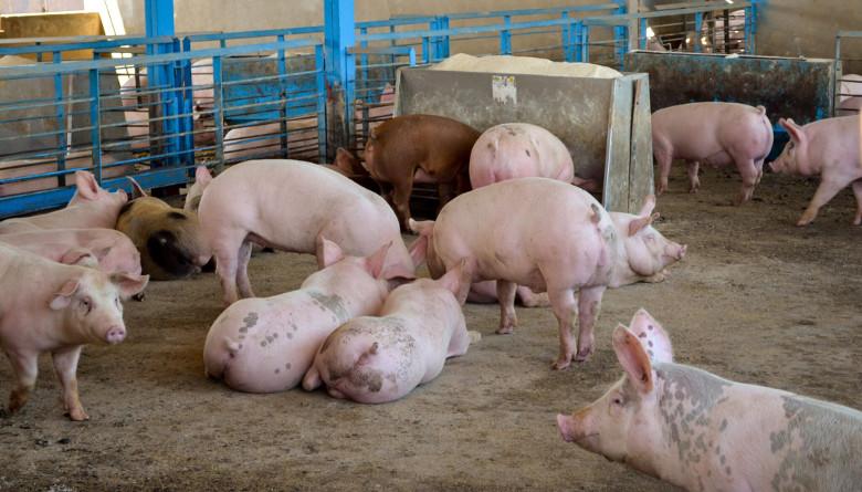 En octubre comienza a operar una mega granja porcina en Huatusco, Veracruz