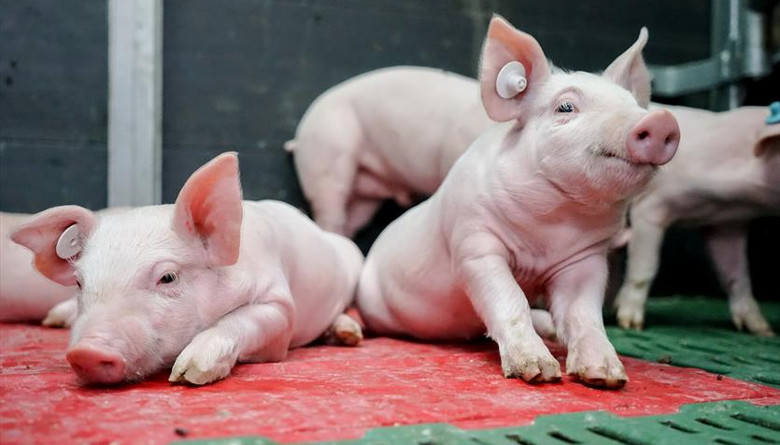Reporte de Cerdos del USDA ¡Más Cerdos!