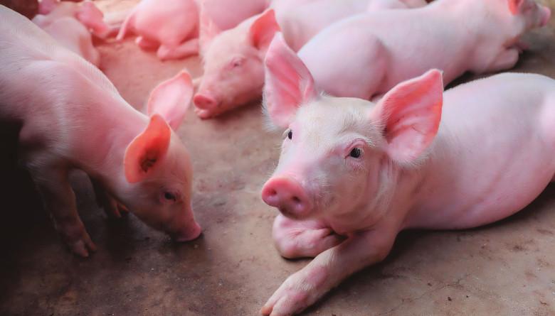 Efecto de una dieta especializada para lechones y el espacio disponible de corral sobre el comportamiento productivo del cerdo – Primera parte