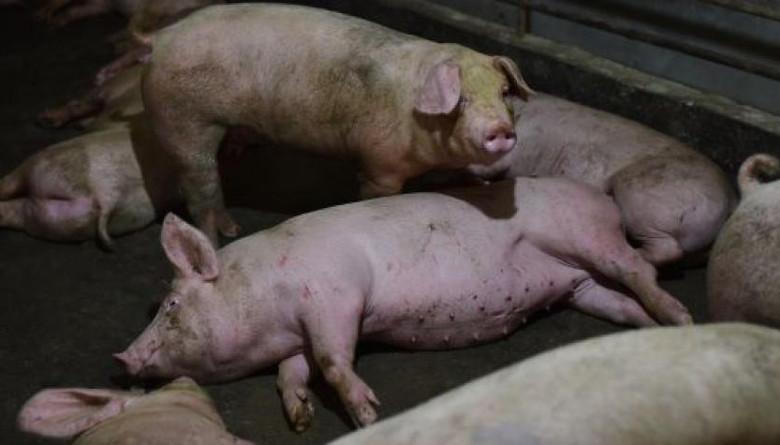 La OIE reportó dos nuevos brotes de Peste Porcina Africana en China y Rumania