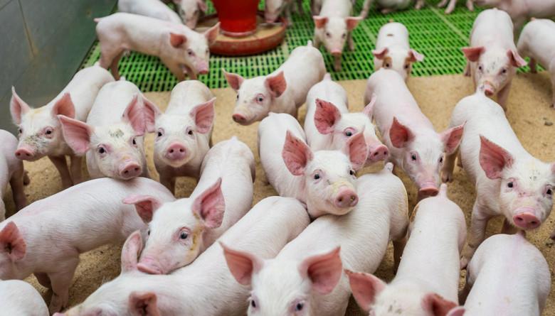 Los precios a futuro del cerdo continúan en ascenso