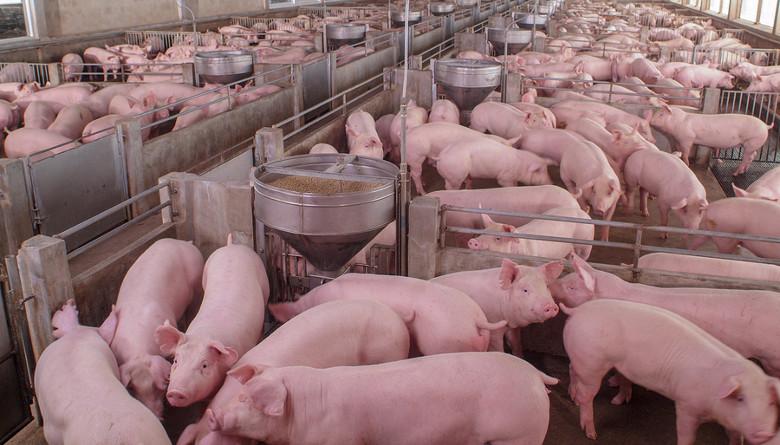 El cerdo como un modelo traslacional para enfermedades humanas: el asma como ejemplo