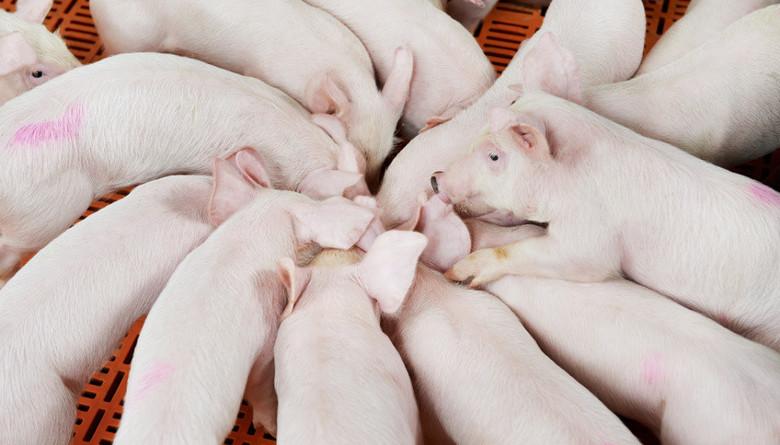 El mercado del cerdo va en franco ascenso
