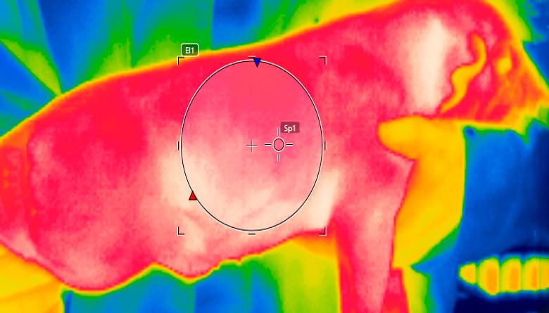 Monitoreo termográfico infrarrojo en lechones destetados