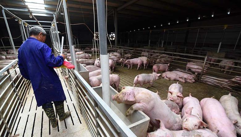 Porcicultores chinos denuncian, los brotes de PPA ya no se están reportando