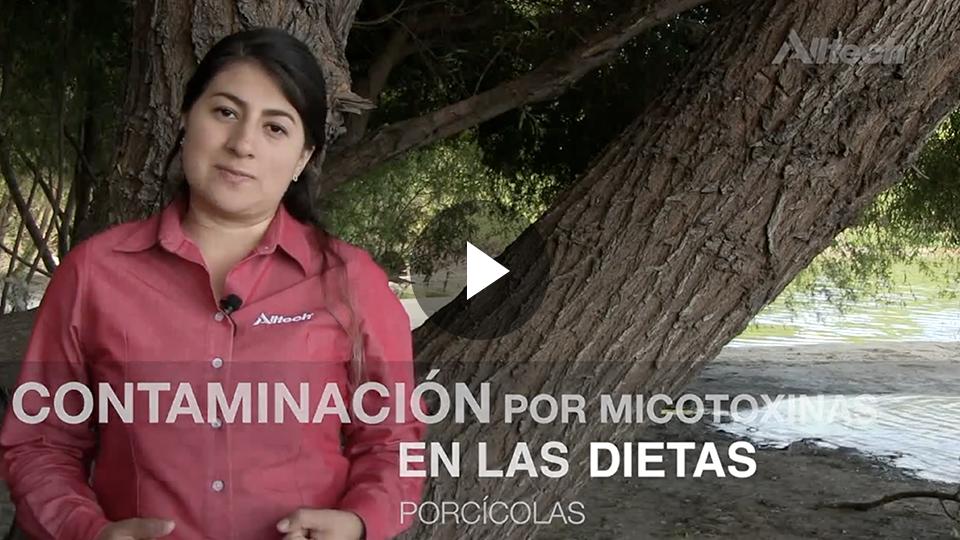 Contaminación por micotoxinas en las dietas porcícolas.