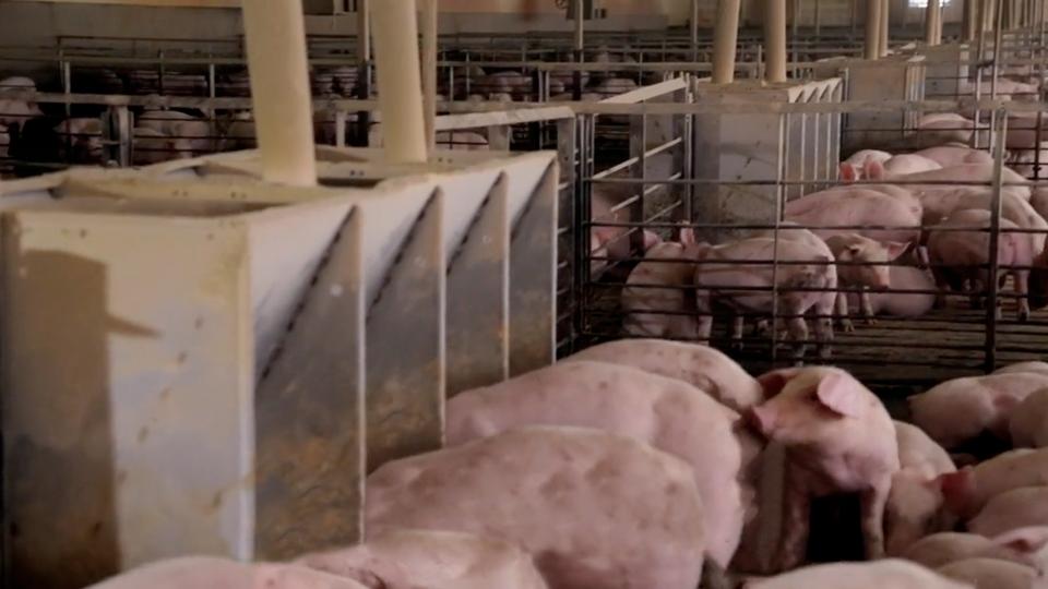 CRYSTAL SPRING: Equipos para cerdos