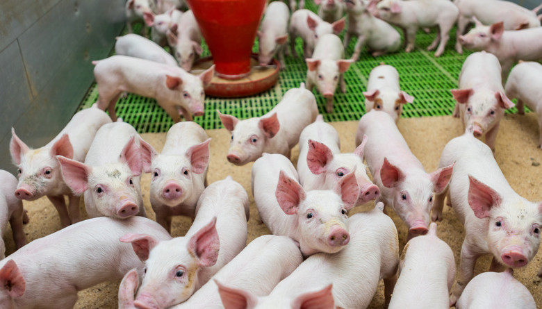 Herramientas en el control de las enfermedades entéricas persistentes en el cerdo