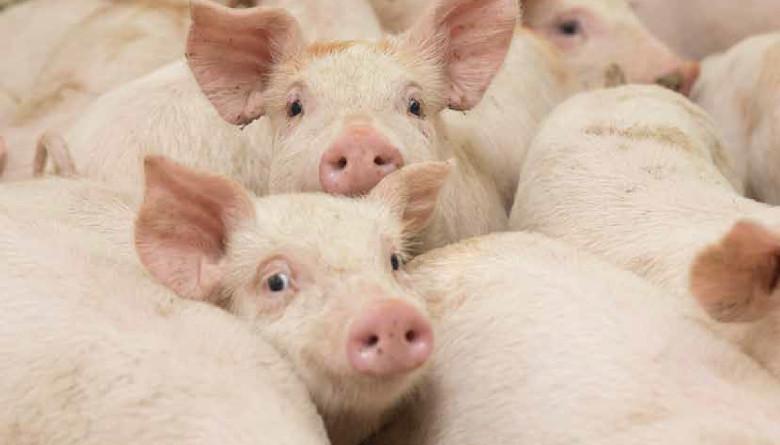 Ingelvac Provenza<sup>TM</sup> - Una herramienta valiosa en la protección contra el virus de Influenza A en cerdos (IAV - S)