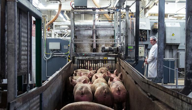 Sacrificio porcino en EE. UU. se incrementó 11% pese a la contingencia