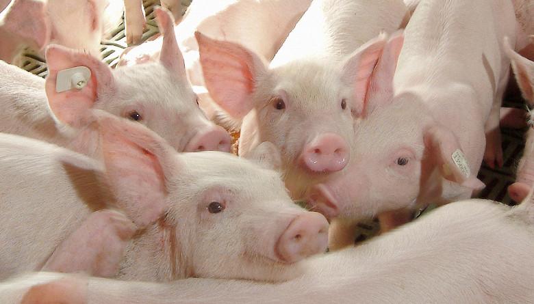 Sector porcino y su bienestar animal en México