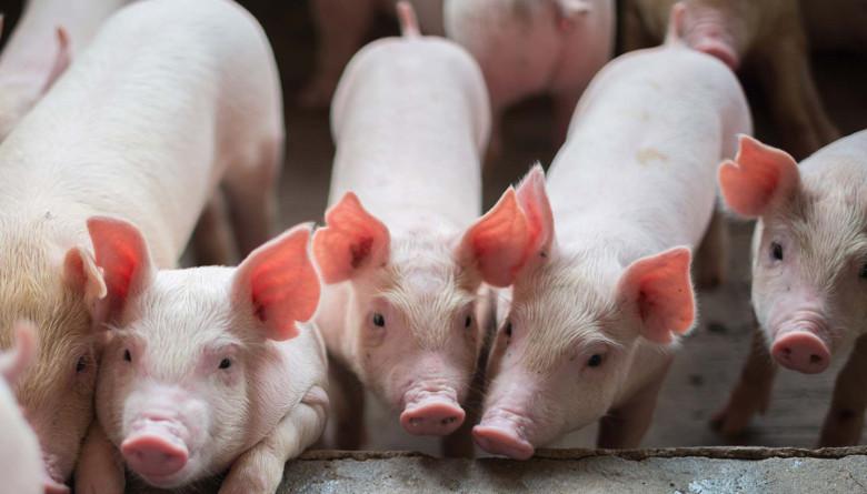 Sonora investiga: Una historia sobre las aportaciones científicas del estado, para el cerdo